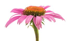Echinacea rose de coneflower photo stock