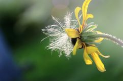 Echinacea rudbeckia with the fluff of a dandelion Royalty Free Stock Photo