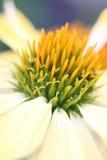 Echinacea - salida del sol Imagen de archivo
