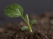 Echinacea Seedling 2 Stock Image