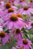 Echinacea - Sombrero - Heet Koraal Royalty-vrije Stock Fotografie