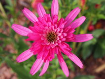 Echinacea `Southern Belle` Coneflower Royalty Free Stock Photography