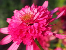 Echinacea `Southern Belle` Coneflower Stock Image