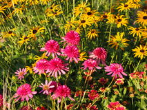 Echinacea `Southern Belle` Coneflower Stock Photos