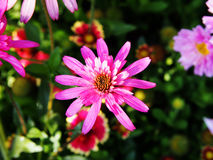 Echinacea 'Southern Belle' (Coneflower) Royalty Free Stock Image