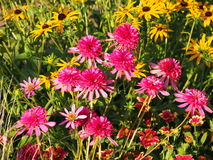 Echinacea 'Southern Belle' (Coneflower) Royalty Free Stock Photography