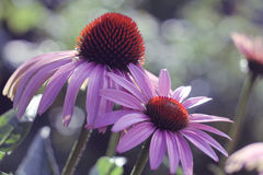 Echinacea in the sunset glare Royalty Free Stock Images