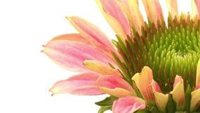 Echinacea Time-lapse stock footage