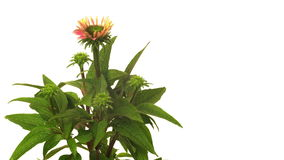 Echinacea Time-lapse stock video