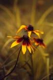 Echinacea tres Fotografía de archivo