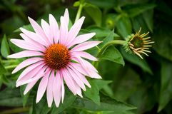 Echinacea - uma planta medicinal, Foto de Stock