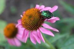 Echinacea, un medicinale per tutti Fotografia Stock