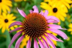 Echinacea und Brown gemusterte Susan Lizenzfreie Stockfotos