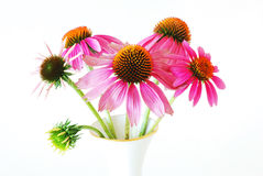 Echinacea  in a vase (Echinacea purpurea) Stock Photo