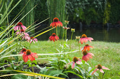Echinacea vermelho Fotografia de Stock Royalty Free