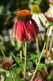 Echinacea vermelho Foto de Stock Royalty Free