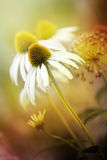 Echinacea. Royalty Free Stock Photography