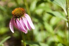 Echinacea w kwiacie Zdjęcia Stock