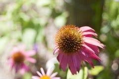 Echinacea w kwiacie Zdjęcia Royalty Free