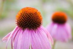 Echinacea w ogródzie Fotografia Royalty Free