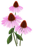 Echinacea on a white background. Royalty Free Stock Images