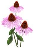 Echinacea on a white background. Echinacea (purpurea) on a white background Vector Illustration
