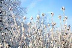 Echinacea winter Royalty Free Stock Image