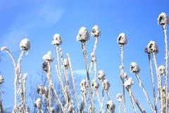 Echinacea winter Stock Image