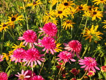 Echinacea 'Southern Belle' (Coneflower) Stock Photos