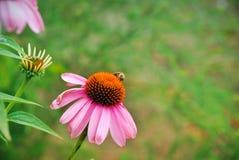Echinacea y una abeja Foto de archivo libre de regalías
