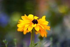 Echinacea Royalty Free Stock Photos