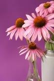 Echinacea Ziołowy kwiat obraz royalty free