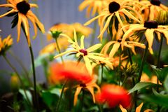 Echinaceabloem royalty-vrije stock fotografie
