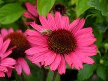 Echinaceablomma med krypet Fotografering för Bildbyråer