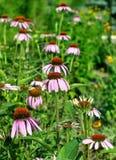 echinaceablommapurpurea Royaltyfria Bilder