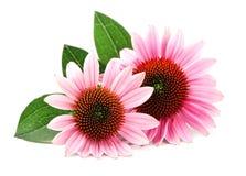 Echinaceablommor medicinal växt royaltyfri bild