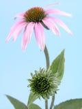 Echinaceablume Stockbild