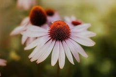 Echinaceablume im Sommer Stockbild