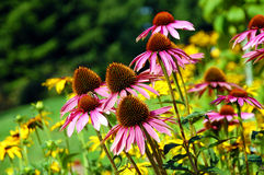 Echinaceablumen Stockbild