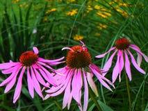 Echinaceaconeflower för tre rosa färger mot bakgrund av svart synade royaltyfri fotografi