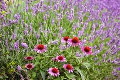 Echinaceaen blommar och lavendelblomningen på bakgrunden Sommar arkivfoto