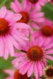 echinaceaen blommar pink Slut upp av rosa Echinaceablommor Arkivbilder