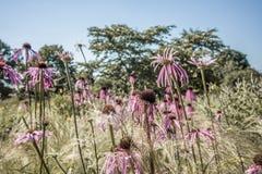 Echinaceapallida Fotografering för Bildbyråer