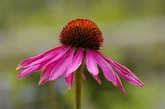 echinaceapurpurea Royaltyfria Foton