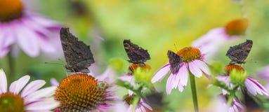 Echinaceapurpurea - coneflower in de tuin met vlinders stock afbeelding