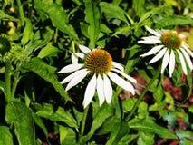 Echinaceapurpurea & x27; Alba& x27; Royalty-vrije Stock Foto's