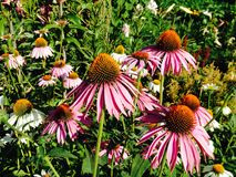 Echinaceas. Purple echinaceas coneflower Stock Photos