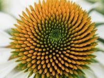 Echinea白色开花的花 免版税图库摄影