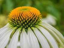 Echinea花绿色背景 库存照片