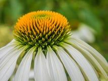 Echinea-Blumen-Grünhintergrund Stockfotos